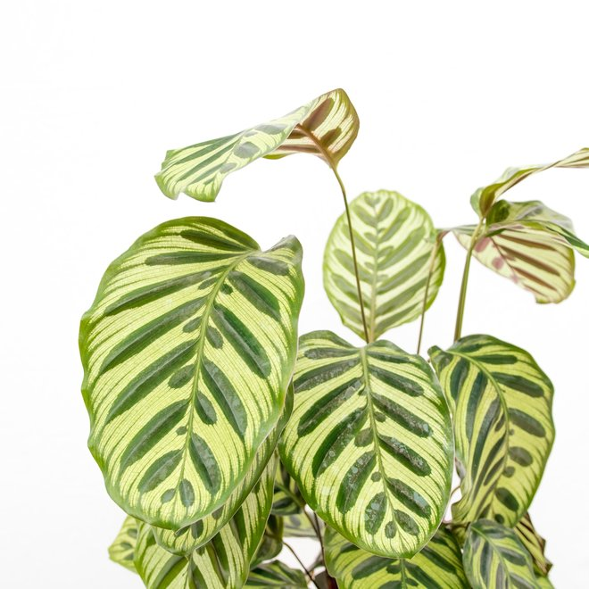 Calathea Makoyana - 55cm
