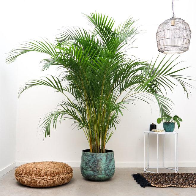 Areca palm - 225 cm