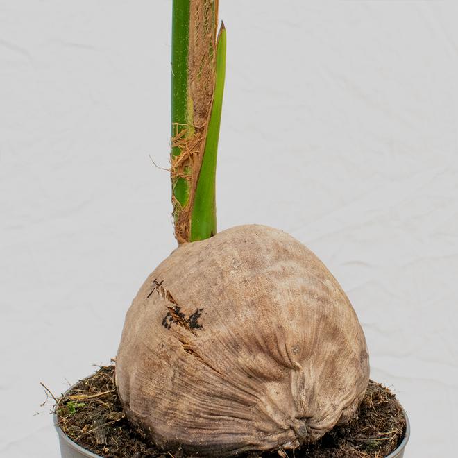 Kokospalm - 150cm