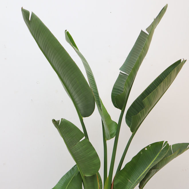 Strelitzia Augusta - 350 cm