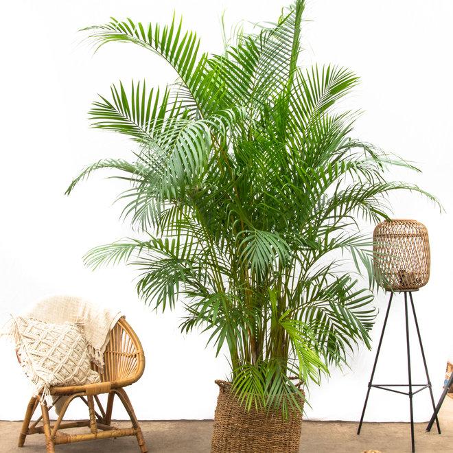 Areca Palm XXL - 250cm