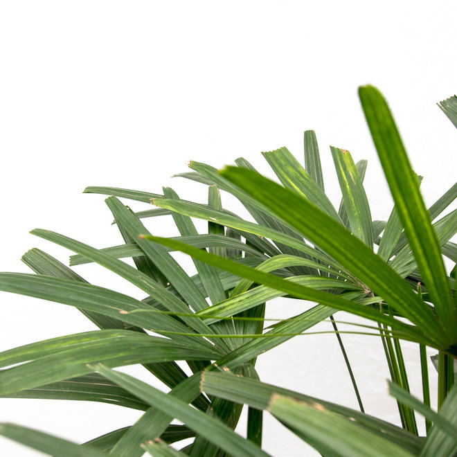 Stick Palm - 180cm