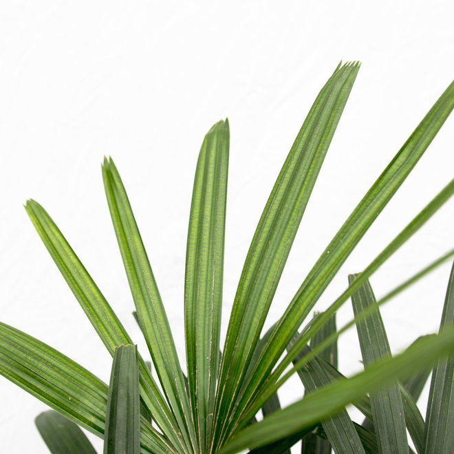Stok Palm - 180cm