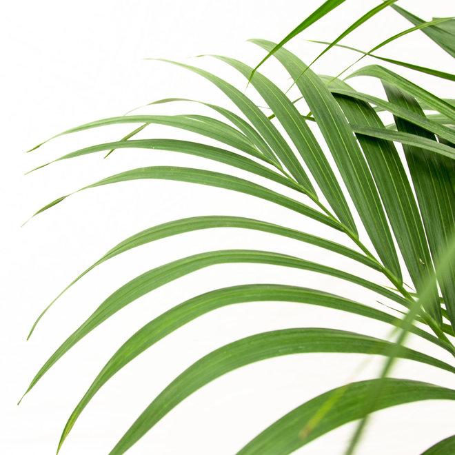 Kentia Palm XXL - 230cm
