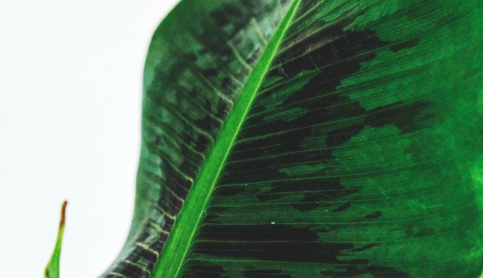 Alles wat je moet weten over de Bananenplant