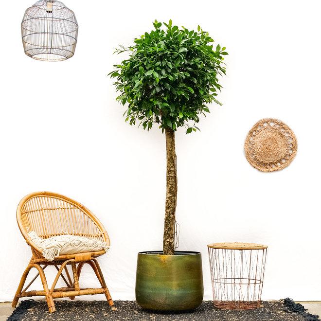 Ficus Nitida on a stem XXL - 225cm