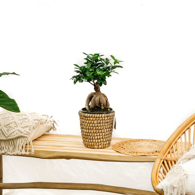 Ficus Microcarpa Ginseng - 40cm