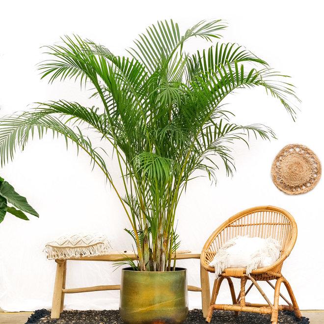 Dypsis Lutescens (Areca palm) - 200cm