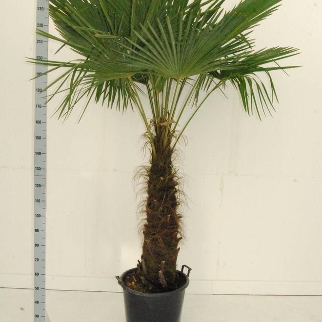 Trachycarpus Fortunei - 240cm
