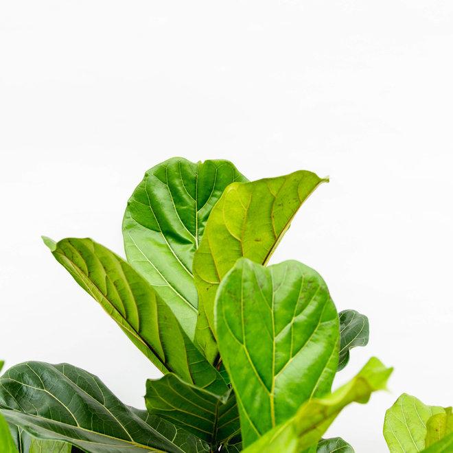 Ficus Lyrata vertakt XXL - 200 cm