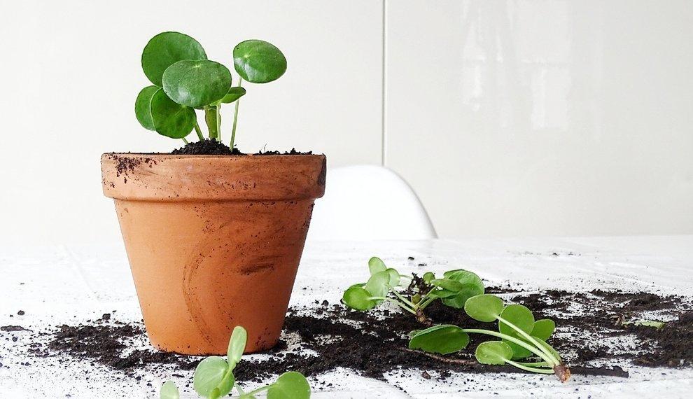 Zo stek je jouw eigen Pannenkoekenplant