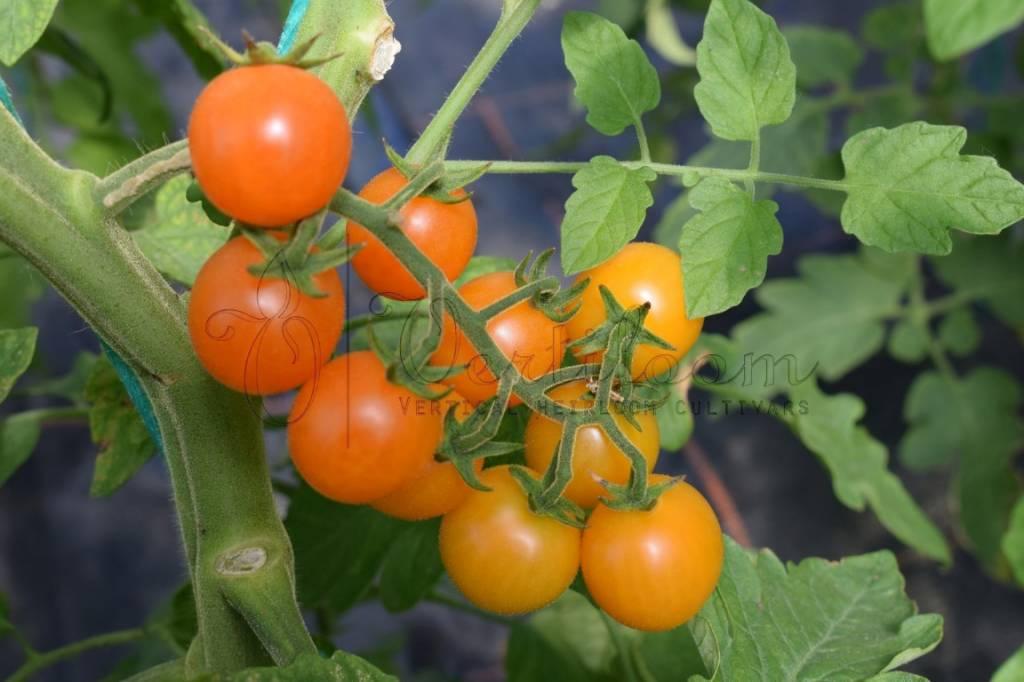 Ambrosia Orange
