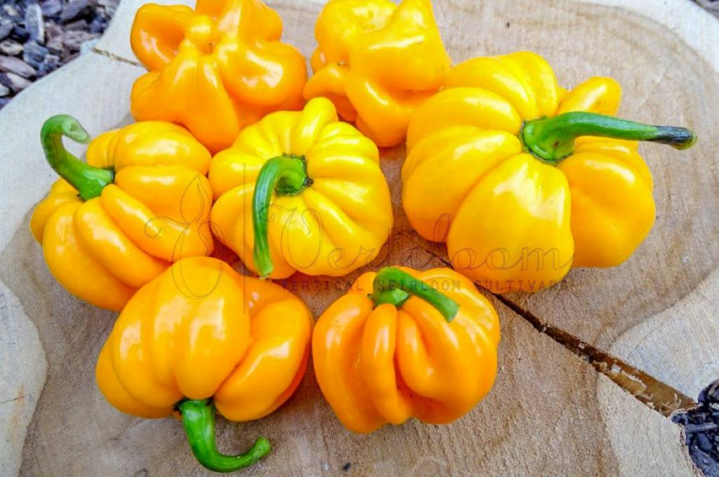 Jamaican Scotch Bonnet TFM