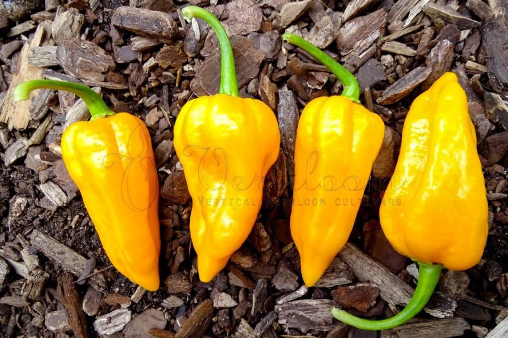 Dorset Naga Orange