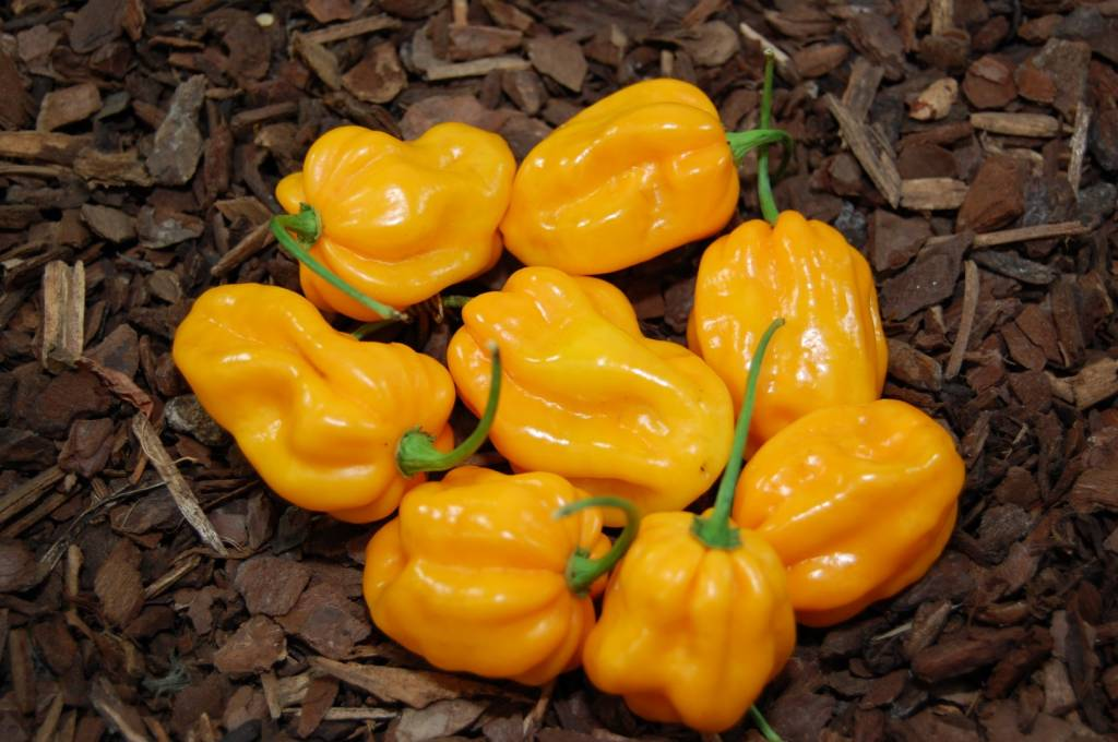 Scotch Bonnet Trinidad Yellow