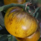 Gele Tomaten