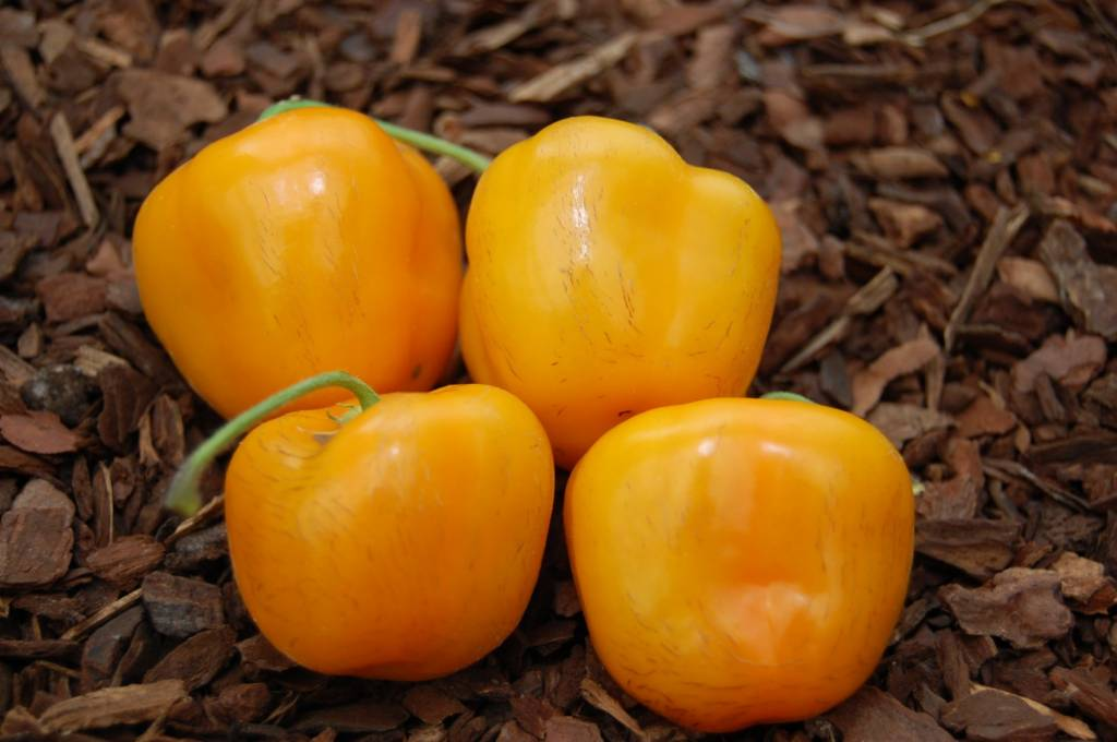 Rocoto Costa Rican Yellow