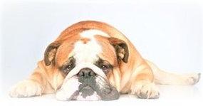 Overgewicht bij honden; een zwaar probleem!