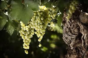 Torrontés – een bloementuin in uw glas.
