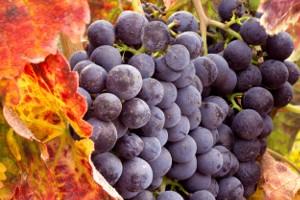 Pinot noir – rode wijn met vele gezichten