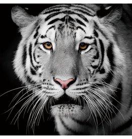Glasmalerei 100x100cm Tiger Recht