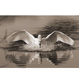 MondiArt Dibond painting Swan 180x120cm
