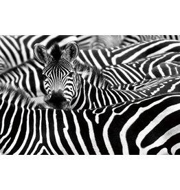 Gave Schilderij glas 80x120cm Zebra kudde