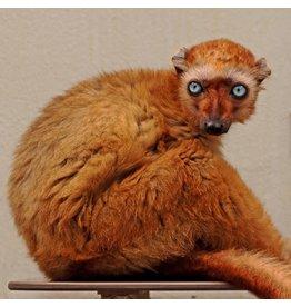 Wandkraft Wandkraft glass painting Monkey 74x74cm