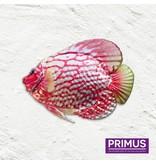 Metallic pink fish