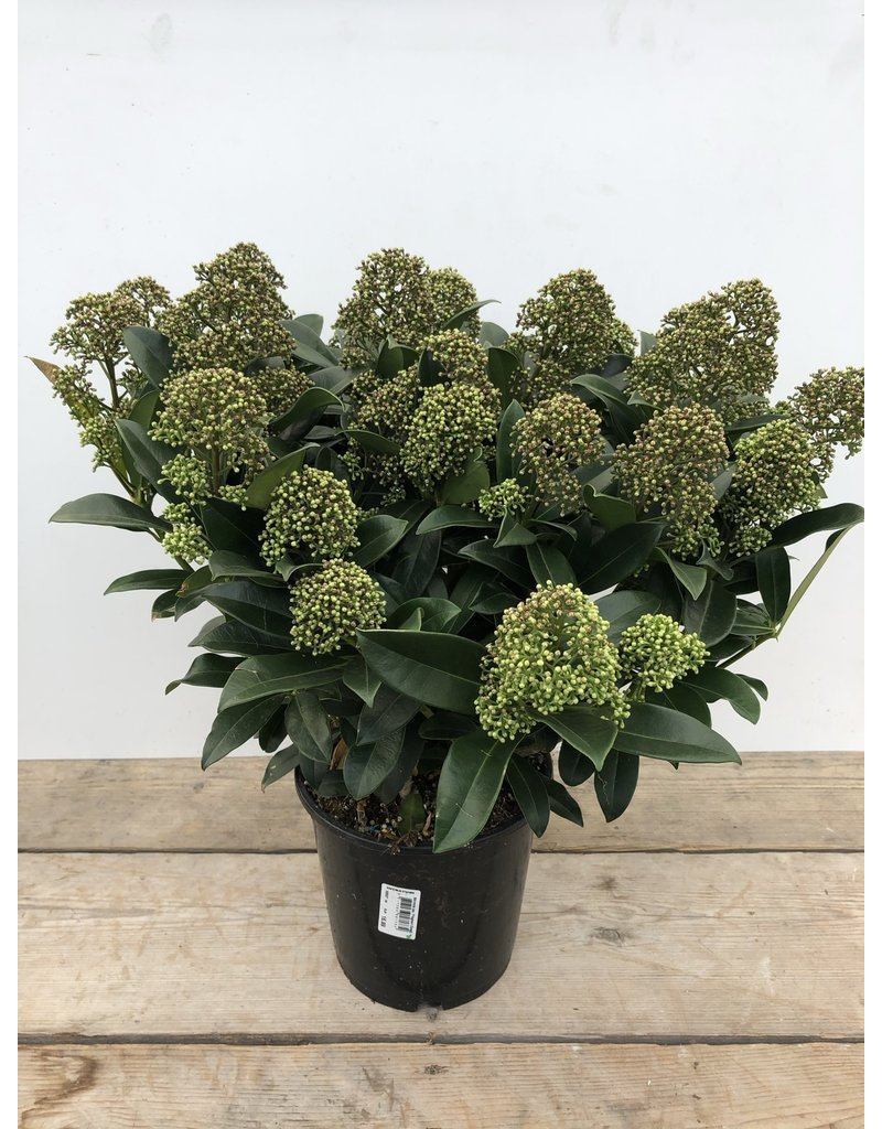 Planten Skimmia japonica 'Fragrant Cloud' 4