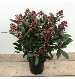 Planten Skimmia japonica 'Rubella' 40+ bloe