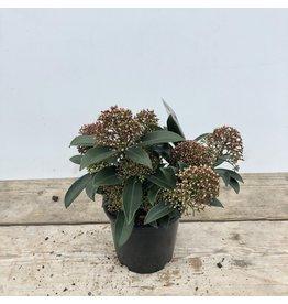 Planten Skimmia Jap Marlot