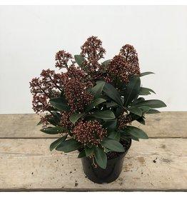 Planten Skimmia japonica 'Rubella' 15+ bl