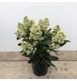 Planten Skimmia japonica 'Finchy'