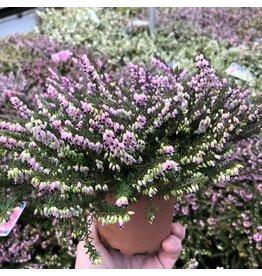 Planten Erica darleyensis 'Kramer's Rote'
