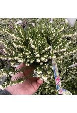 Planten Erica Wi Darl KramerS Rote