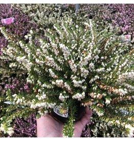 Planten Erica darleyensis 'White Perfection
