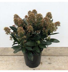 Planten Skimmia Jap Miracle