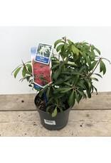 Planten Pieris 'Forest Flame'