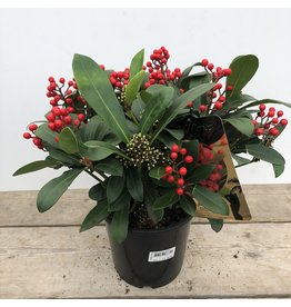 Planten Skimmia japonica Desire
