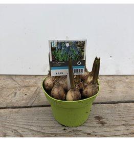 Planten Muscari 'Blue Magic'