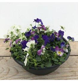 Planten Viooltjes in schaal (diverse kleuren)