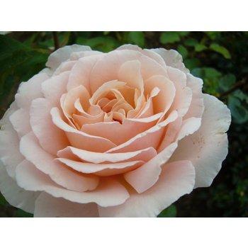 Meilland® Rosa Andre Le Notre® (Betty White)