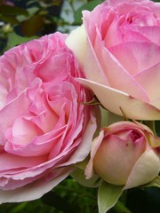 Meilland® Klimroos Eden Rose®- Pierre de Ronsard