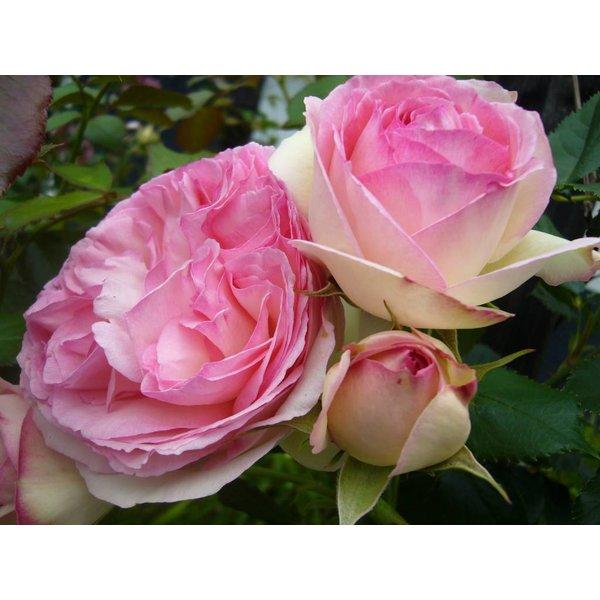 Meilland® Klimroos Eden Rose®-Pierre de Ronsard