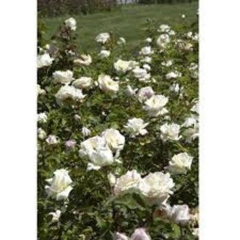 Rosa Blanc Double de Coubert