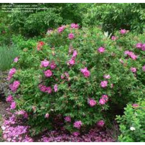 Rosa Rotes Meer