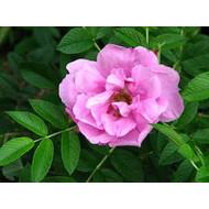 Kordes® Rosa Pink Roadrunner®