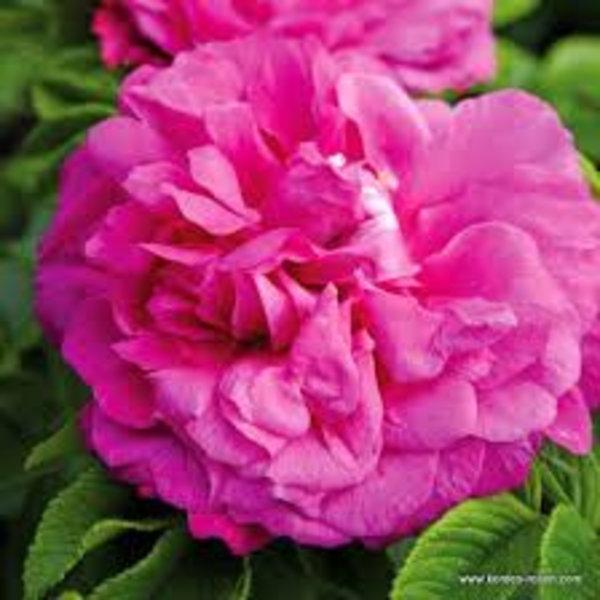 Kordes® Rosa Purple Roadrunner®
