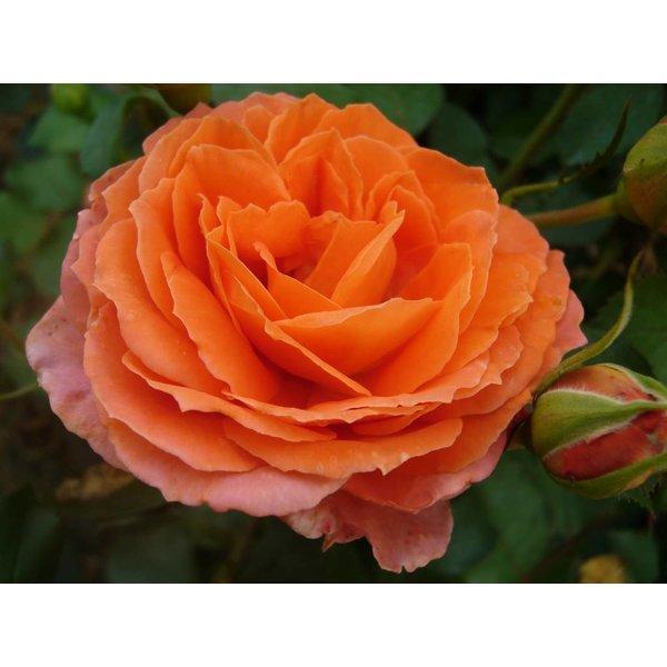 Meilland® Rosa Orange Meilove®